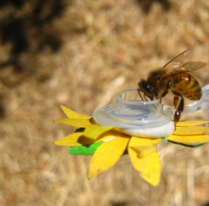 Apis mellifera foraging on experimental nectar
